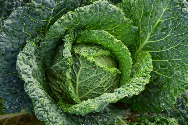 Cabbage  - Cabbage Soup Diet